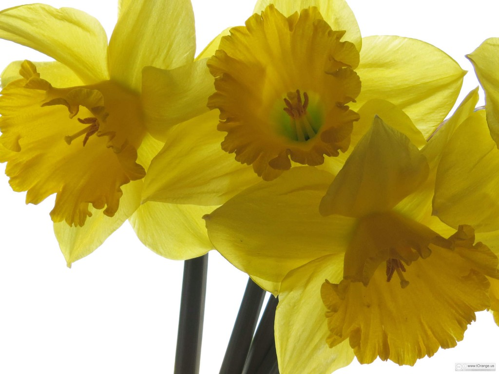 Oh, Wordsworth: what have I done to your daffodils?