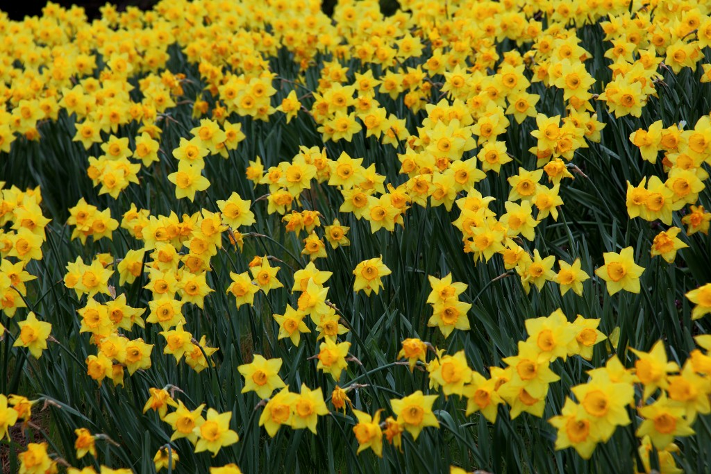 Oh, Wordsworth: what have I done to your daffodils? | How To Write ...