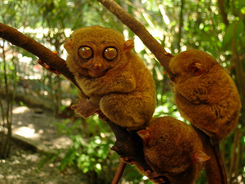 Tarsier monkey on HTWB