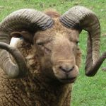 Sheep jokes … no, not THOSE – funny ones!